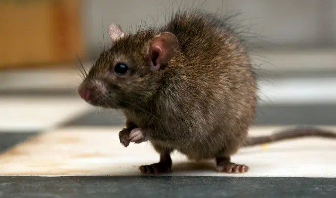 Cientistas alemães devolvem movimentos à ratos com lesão na medula espinhal