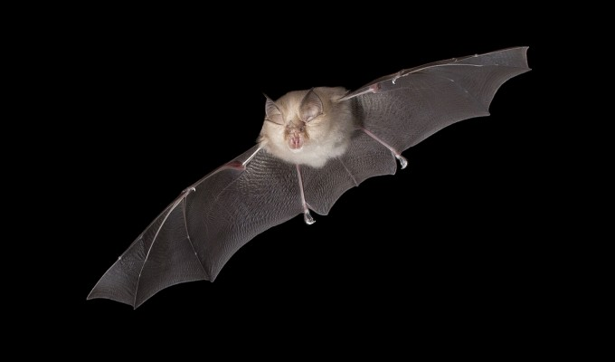 Pesquisadores descobrem vírus semelhante ao SARS-CoV-2 em morcegos